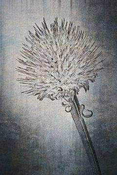 Purpur-Sonnenhut - Echinacea purpurea von Christophe Fruyt
