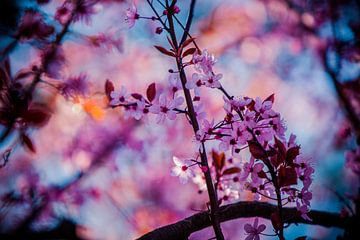 roze bloesem tegen blauwe lucht achtergrond von Margriet Hulsker