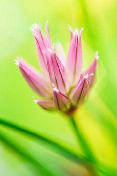 Bieslook bloem van