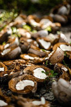 Kokosnoten op een kokosplantage in de Filipijnen