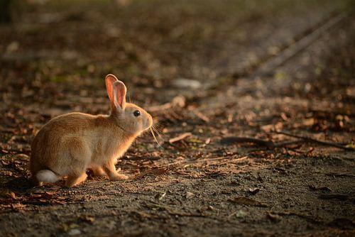Konijntje op Rabbit Island, Japan