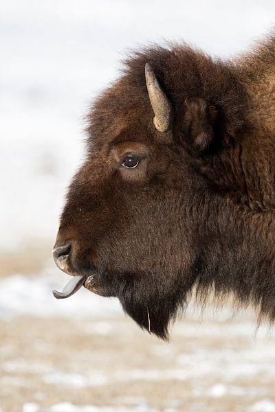 American Bison *Bison bison* van wunderbare Erde