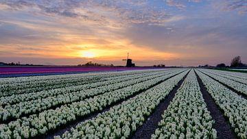 Blumenzwiebelfeld in voller Blüte von eric van der eijk