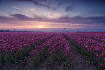 Paarse tulpen van Sandra de Heij