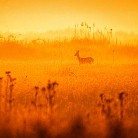 Ree in oranje van Sam Mannaerts Natuurfotografie