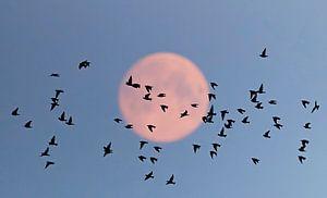 Spreeuwen (Sturnus vulgaris) met volle maan
