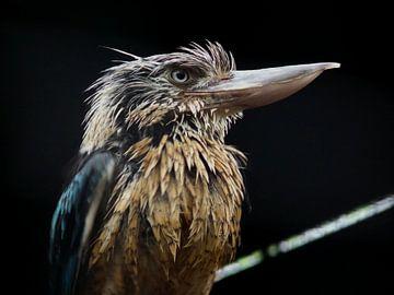 Prachtige vogel Kookaburra van Chloë Luyckx