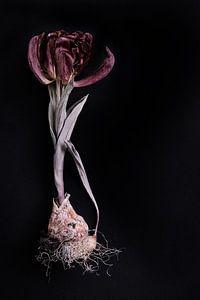 gedroogde tulp met bol