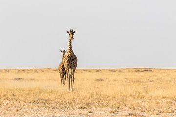 Giraffen (Giraffa) op de savanne van Remco Donners