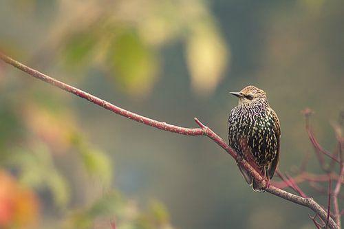 lijsterbes (vogel) op tak III