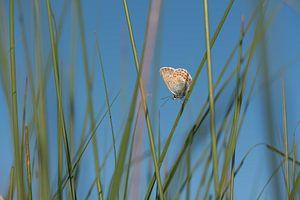 Heideblauwtje Vinder van Jeannette Braamskamp