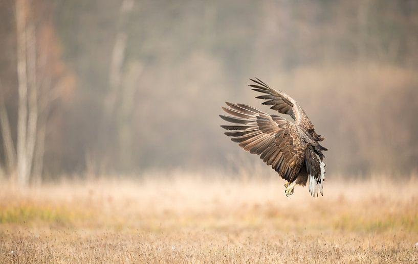 Approaching White-Tailed Eagle! van Robert Kok