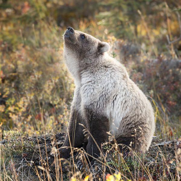 Grizzly beer in Alaska van Menno Schaefer