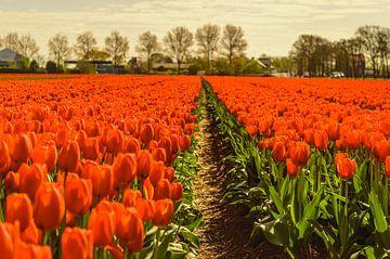 Oranje Tulpenveld sur Yvon van der Wijk