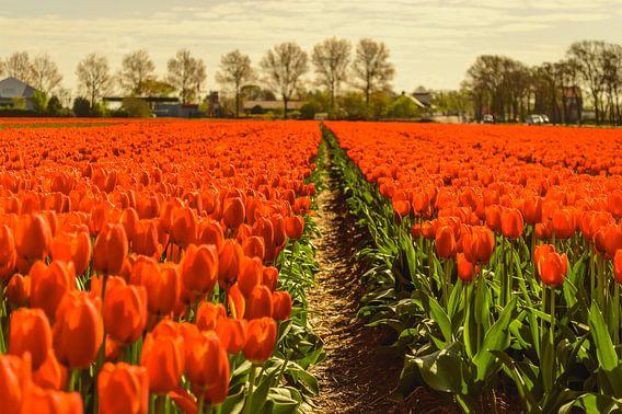Oranje Tulpenveld van Yvon van der Wijk