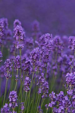 Lavendel (Spitze) von Jos Verhoeven