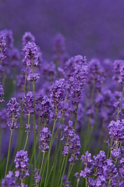 Lavendel (spijk) van Jos Verhoeven