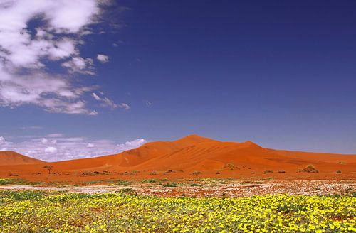 Flowers in the Namib - Namibia