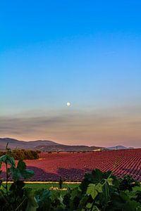 Lavender Moon I