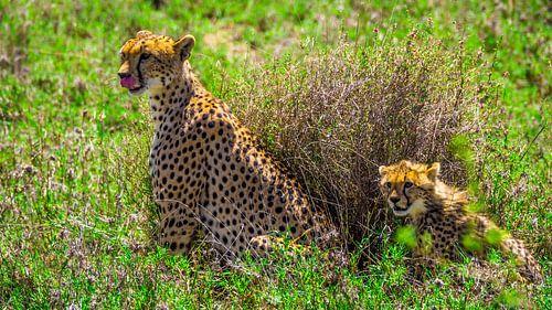 Cheetah moeder en welpje van