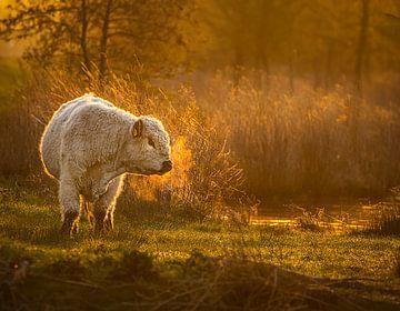 Koe in polder van natascha verbij