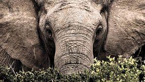 Portret van een wilde olifant van heel dichtbij van Heleen van de Ven