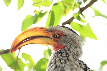 Geel gesnavelde neushoornvogel van Bobsphotography