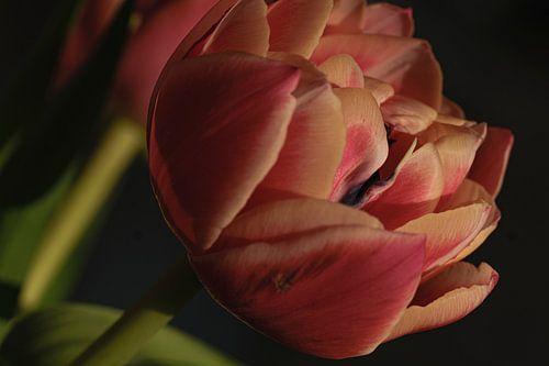 Tulp in close-up