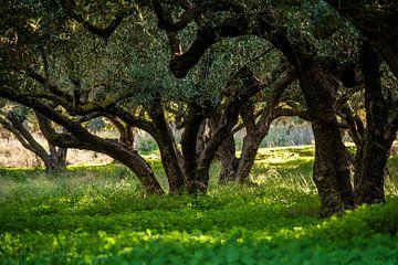 Olijfboomgaard op Kreta van Emel Malms