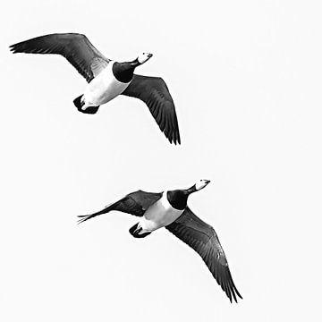 Synchron fliegende Seepockengänse von Fotografie Jeronimo
