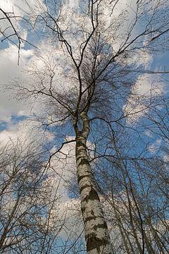 Berkenboom tegen een blauwe lucht met witte wolken van Tonko Oosterink