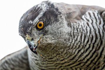 Falke von Loek Lobel