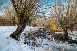 Willows in the sun on a snowy day