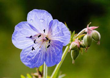 Beemdoievaarsbek, Geranium pratense von Martin Stevens