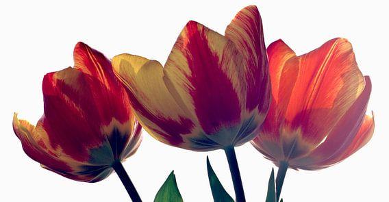 Tulips van Cor Ritmeester