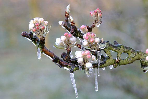 Bevroren Appelbloesem I van Marinus de Keijzer