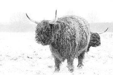 Winter voor Schotse Hooglander van Pieter van Dijk