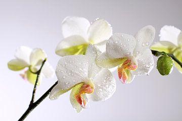 Weiße Orchidee mit Wassertropfen von Karina Baumgart