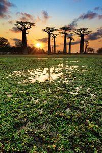 Baobabs aan het water