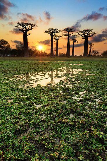 Baobabs aan het water van Dennis van de Water
