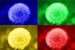 Collage aus 4 bunten Pusteblumen von HGU Foto