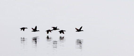 Eider ducks - Iceland