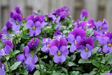 close-up van een paars viooltje of Viola van Sonja Blankestijn