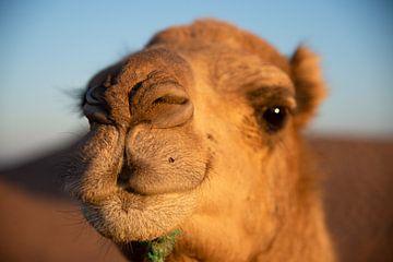 Dromedar, Marokko von Jan Fritz