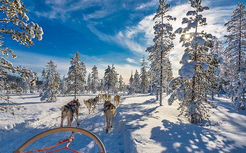 De zon schijnt door de besneeuwde bomen tijdens een huskytocht, Finland