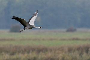 Kranich ( Grus grus, Graukranich ) im Flug über nassfeuchte Wiesen, wildlife, Europa.