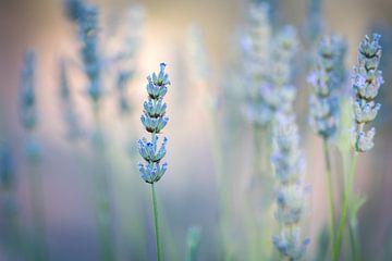 Lavendel van Marianne van der Westen