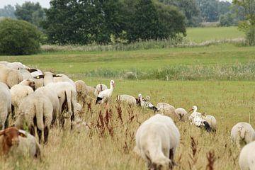 Drie ooievaars ontmoeten een kudde schapen van Anja Bagunk