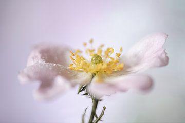Bloeiende Rosaceae