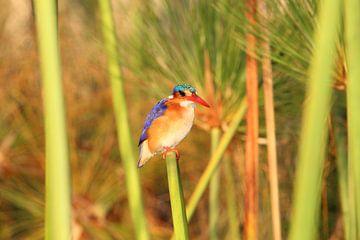 Kleurrijke IJsvogel in de Okavango Delta in Botswana, Afrika van